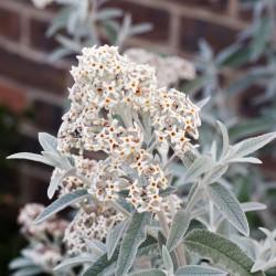 Liliac de Vară Argintiu (Buddleja Silver Anniversary)