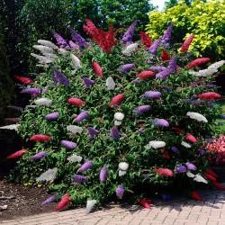 Liliac de Vară Tricolor