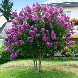 Liliac Indian violet (Lagerstroemia indica)