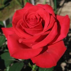 Trandafir Lucky