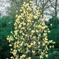 Magnolia Elisabeth 140-160cm