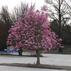 Magnolia Galaxy  60-80cm