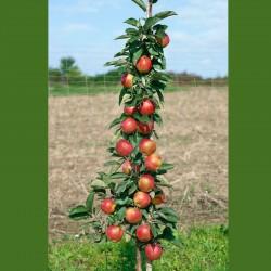 Măr Columnar - Polka cu ghiveci
