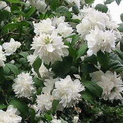 Iasomie cu flori duble