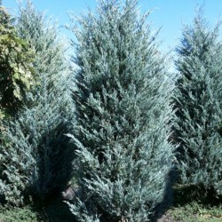 Juniperus Sc. Moonglow