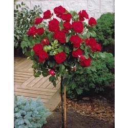 Trandafir pomișor Dame de Coeur cu ghiveci