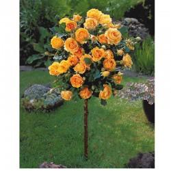 Trandafir pomișor Orange cu ghiveci