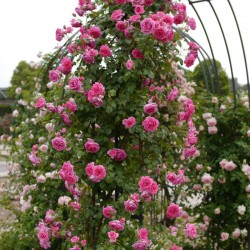 Trandafir cățărător Parade