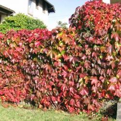 Viţă sălbatică (Parthenocissus quinquefolia)