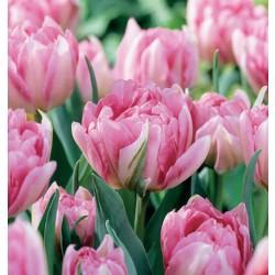 Lalele Peach Blossom