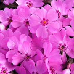 BRUMARELE (Phlox sub. E.S. Dark Pink)