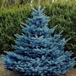 Puiet Molid Argintiu 25-35cm (Picea Pungens Glauca)