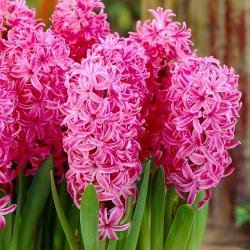 Zambile Pink Pearl