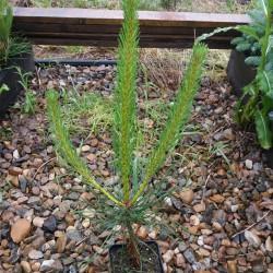 PUIET PIN NEGRU 30-40cm (Pinus nigra)