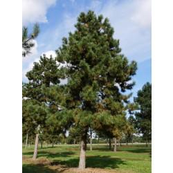 PIN NEGRU 60-80cm (Pinus nigra)