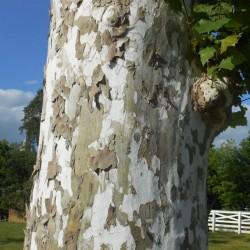 Platan englezesc ( Platanus acerifolia)