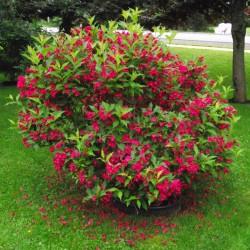 Weigela florida RED PRINCE