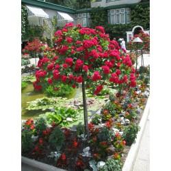 Trandafir pomișor  roșu curgător cu ghiveci