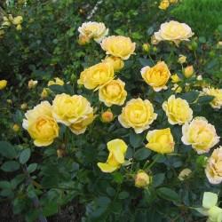 Trandafir târâtor (Fairy GOLD)