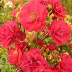 Trandafir târâtor (Fairy red 92)