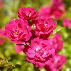 Trandafir târâtor (FAIRY RED )