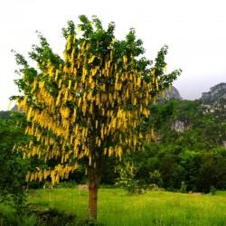 Salcâm galben (Laburnum anagyroides)