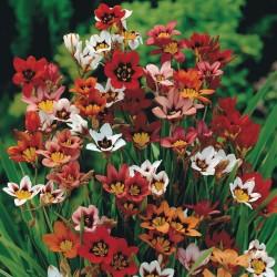 Sparaxis Tricolor