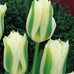Lalele Spring Green