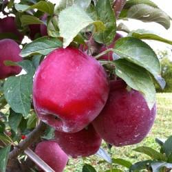 Măr Starkrimson cu ghiveci