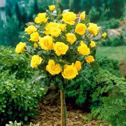Trandafir pomișor Golden cu ghiveci