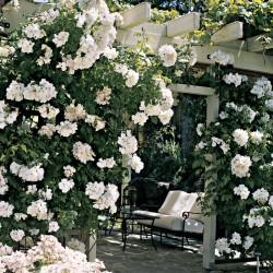 Trandafir cățărător Snow Wall