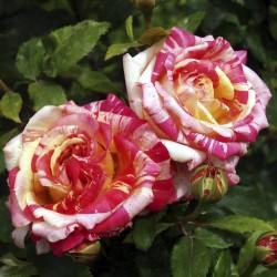 Trandafir teahibrid Broceliande