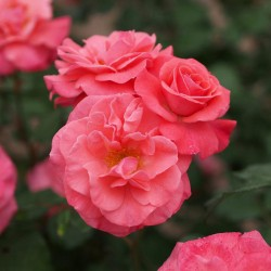 Trandafir pomișor Marion cu ghiveci