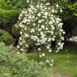 Trandafir pomișor Alb curgător cu ghiveci