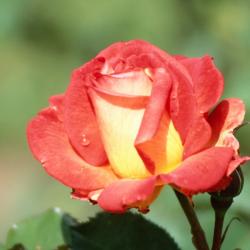 Trandafir teahibrid Two Color