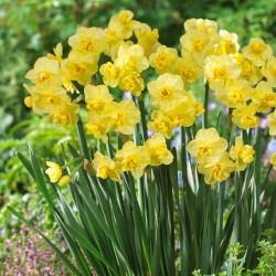 Narcise Yellow Cheerfulness