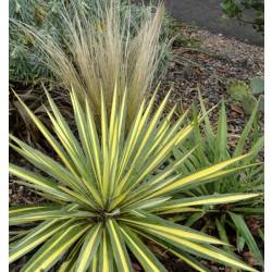 YUCCA DE GRADINA ( Yucca filamentosa Variegata)