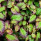 Arbore Persan (Parrotia persica Persian Spire)