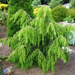 IENUPĂR (Juniperus HORSTMANN)
