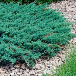 IENUPĂR TÂRÂTOR (Juniperus BLUE CHIP)