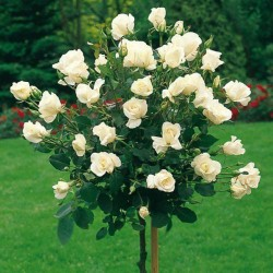 Trandafir pomișor Virgo