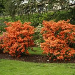 Azalee (Rhododendron)  Giblartar