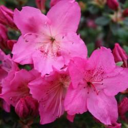 Azalee (Rhododendron) Katja
