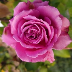 Trandafir teahibrid Blue Angel