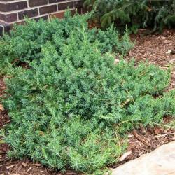 IENUPĂR (Juniperus BLUE PACIFIC)