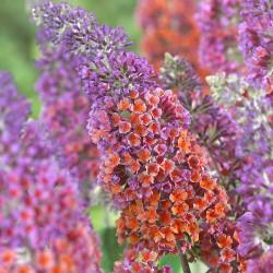 Liliac de Vară (Buddleja x weyeriana FLOWER POWER)