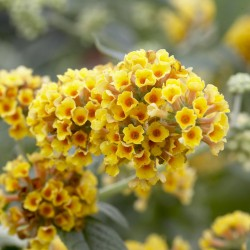 Liliac de Vară (Buddleja x weyeriana SUNGOLD)