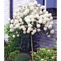 CALIN POMIȘOR (Viburnum opulus roseum)