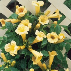 Trompeta Galbenă (Campsis Flava)