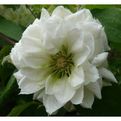 Clematis Duchess of Edinburgh